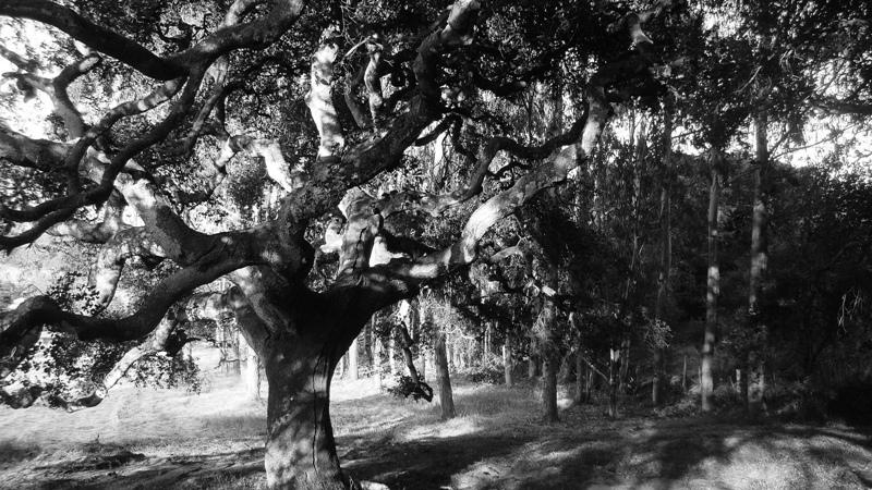 Oake and Eucalyptus_Okir_JVengua_DSC03768